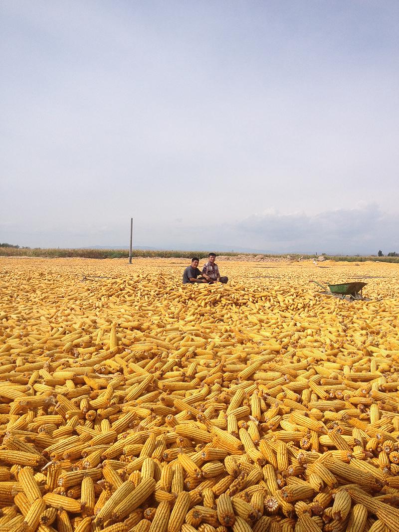 Miehet putsaamassa maisseja Kazakstanissa.
